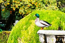 Free Duck Standing On A Fountain Stock Photos - 13578983