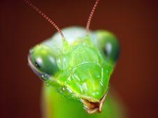 Free Mantis Religiosa Stock Photo - 13579320