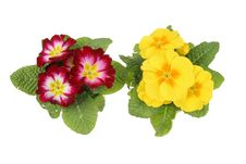 Free Yellow And Red Primula Flowers Royalty Free Stock Image - 13579646