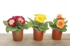 Free Spring Bedding Plants Royalty Free Stock Image - 13579696