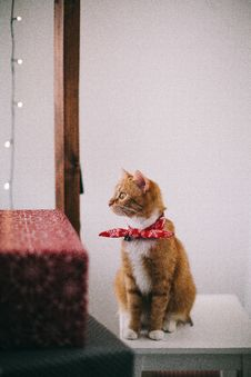 Free Orange And White Cat With Red Ribbon On Neck Sitting On White Wooden Stool Looking Away Stock Images - 135770904