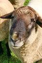 Free Sheep Stock Photo - 13583630