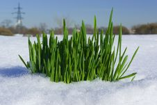 Free Grass On Snow Royalty Free Stock Photography - 13580897