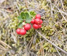 Free Macro A Mature Cowberry Royalty Free Stock Image - 13580966