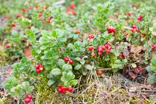Free Glade Of A Mature Cowberry Royalty Free Stock Photography - 13581047