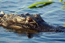 Free Gator Royalty Free Stock Photography - 13581347