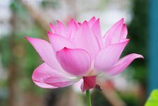 Free Lotus Flower Stock Photos - 13581653