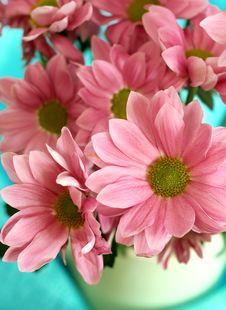 Pink Chrysanthemums Royalty Free Stock Photography
