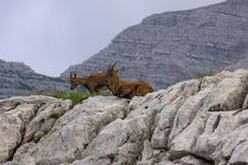 Ibex, Two Young Goats Royalty Free Stock Photo