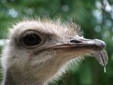 Free Ostrich Royalty Free Stock Photos - 13582048