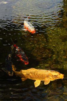 Free Japanese_Carp Royalty Free Stock Photos - 13582118