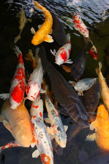 Free Hungry_Japanese_Carps Stock Image - 13582121