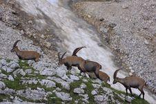 Free Herd Of Ibex Stock Photos - 13582123