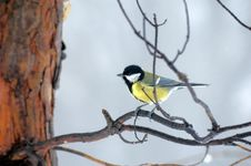 Free Titmouse On Branch Stock Image - 13582211