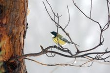 Free Titmouse On Branch Stock Photos - 13582233