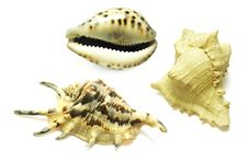 Free Seashells Collection Isolated On White Stock Photo - 13583240