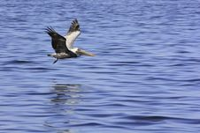 Free Pelican Gliding Over Blue Sea For Landing Stock Image - 13588451