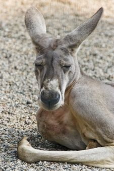 Free Kangaroo Stock Photo - 13589030