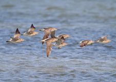Free Common Whimbrel In Flight Stock Image - 13589041
