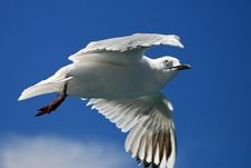 Free Sea Gull Royalty Free Stock Photography - 13589087