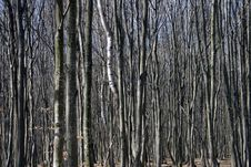 Free Young Beech Trees Royalty Free Stock Photos - 13589648