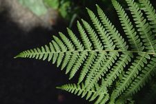 Free Plant, Ferns And Horsetails, Fern, Ostrich Fern Royalty Free Stock Photography - 135806467