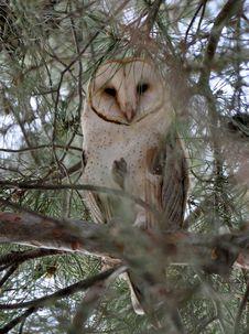 Free Owl, Tree, Fauna, Bird Stock Images - 135806804