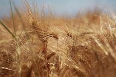 Free Wheat, Food Grain, Grass Family, Grain Royalty Free Stock Photos - 135807048