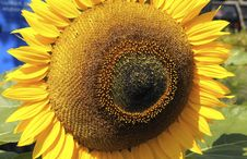 Free Sunflower, Flower, Yellow, Sunflower Seed Stock Photos - 135807113