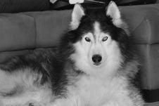 Free Dog, Black And White, Dog Like Mammal, Dog Breed Stock Photo - 135807300