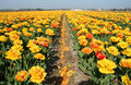 Free Tulip Fields Royalty Free Stock Photography - 13594017