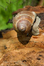 Free Snail On A Tree Bark Royalty Free Stock Images - 13595839