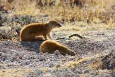 Free Yellow Mongoose (Cynictis Penicillata) Royalty Free Stock Photo - 13590535