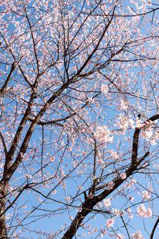 Free Flower Sakura Blooming Royalty Free Stock Image - 13590566