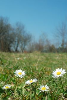 Free Daisy Meadow Royalty Free Stock Images - 13590619