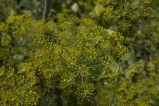 Free Blooming Fennel Stock Photos - 13590943