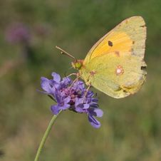 Free Clouded Yellow On Field Scabious Stock Image - 13590961