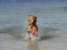 Retriever Dog Jumping Out Of Water With Yellow Bal Stock Photo