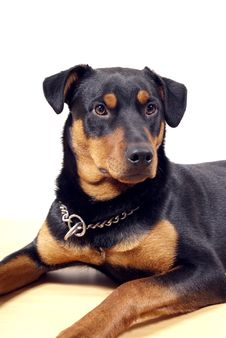 Free Cute Rottweiler Pincher Royalty Free Stock Photography - 13591507