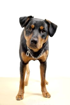 Free Cute Rottweiler Pincher Stock Photo - 13591580