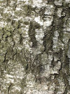 Free Birch Tree Texture Royalty Free Stock Image - 13592136