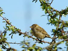 Free House Sparrow On Branch Stock Photo - 13592320