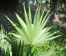 Free Leaf Of A Palm Tree. Royalty Free Stock Photo - 13592355