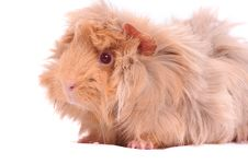 Free Cavy Guinea Pig On The White Background Stock Images - 13592534