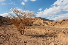 Desert Landscape With Dry Acacia Tree Stock Photography