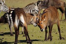 Free Waterbuck Antelopes Fighting, Kenya Royalty Free Stock Photos - 13593158