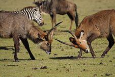 Free Waterbuck Antelopes Fighting, Kenya Stock Photo - 13593190