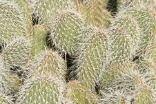 Prickly Pear Spines Stock Photography
