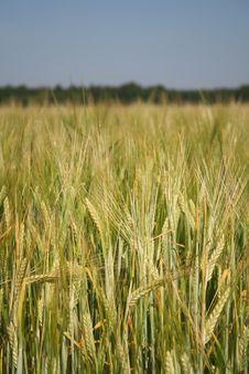 Free Wheat Field Stock Photos - 13593413