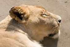 Sleeping Lioness Stock Images